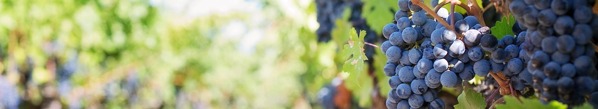 Pliego de Condiciones, uva