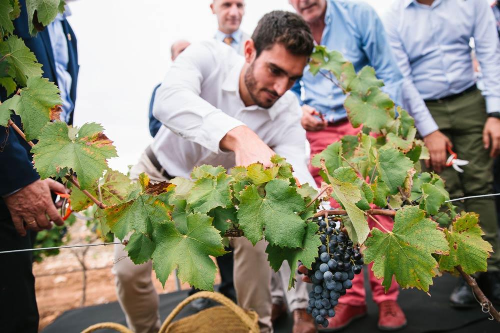 Corte de uva por Jorge Ureña padrino de la añada 2019 de vinos Alicante DOP